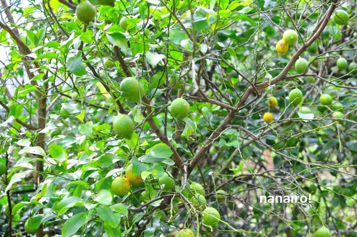 冬が旬のレモン