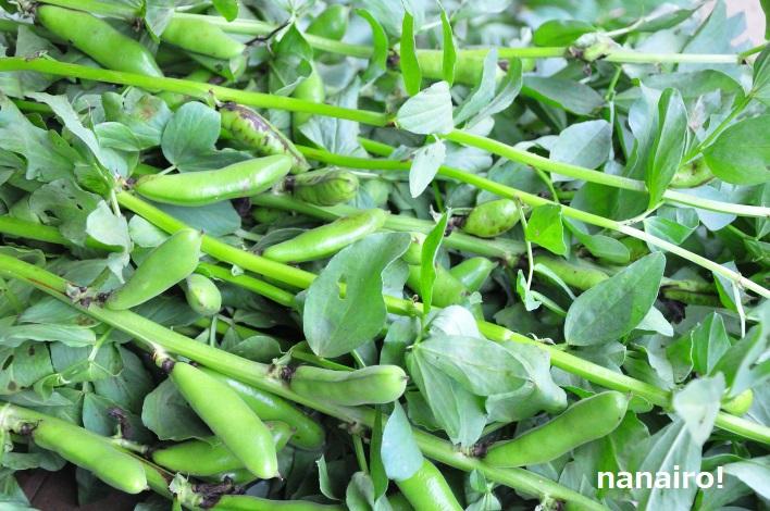 5月中旬のそら豆