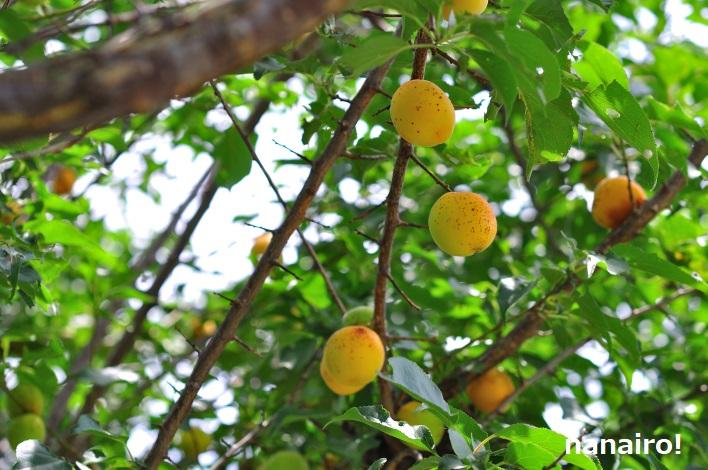 6月中旬の梅の木